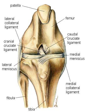 dog knee.jpg